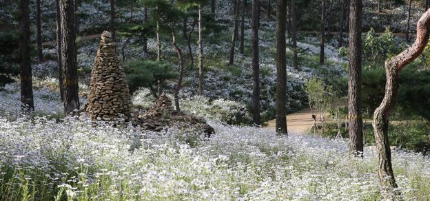 율곡수목원, 구절초 향연으로 가을 정취 물씬